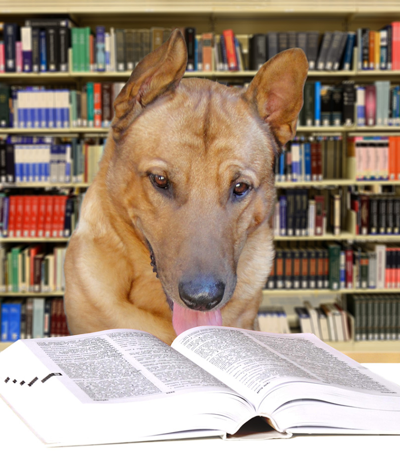 Axel the dog in a library, reading a dictionary.