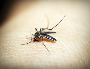 A biting mosquito