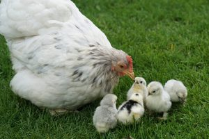 Mother hen looking after her chicks