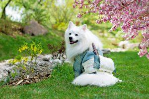 White dog dressed up in Japanese Kimono.