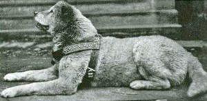 Old photo of Japanese Akita dog Hachiko.